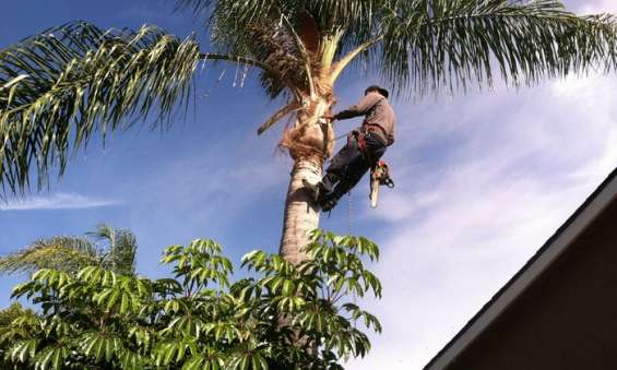 Tree trimming is a famous type of tree care service